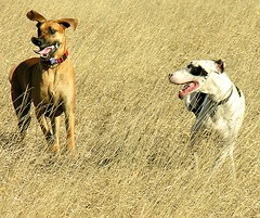 dog sports, dog breed, animal, dog, sloughi, pet, mammal, lurcher, italian greyhound,