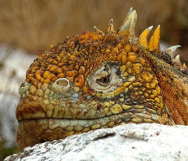 Iguana Meaning