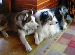 border collie(1.0), dog breed(1.0), animal(1.0), dog(1.0), pet(1.0), miniature australian shepherd(1.0), australian shepherd(1.0), carnivoran(1.0),
