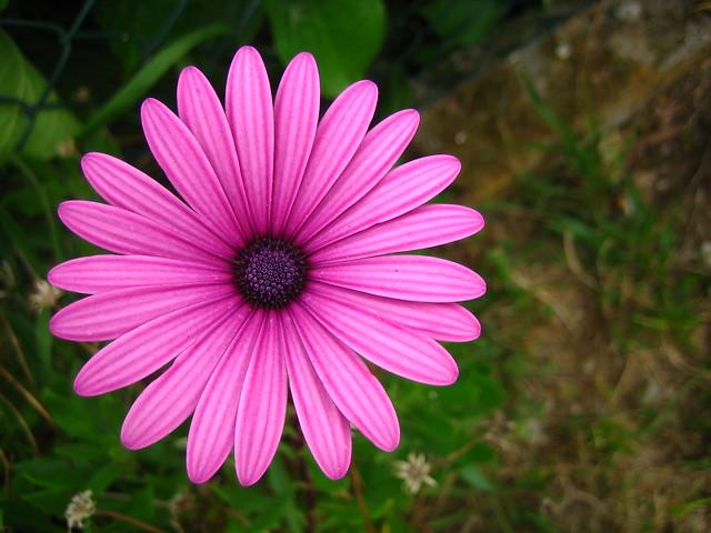 Margarita rosa - a photo on Flickriver