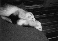 animal(1.0), weasel(1.0), mustelidae(1.0), mammal(1.0), monochrome photography(1.0), polecat(1.0), monochrome(1.0), whiskers(1.0), black-and-white(1.0), ferret(1.0),