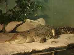 Crocodile in Sydney Aquarium