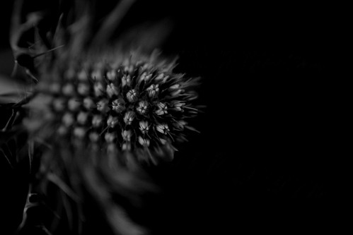 Thistle II - Black and White