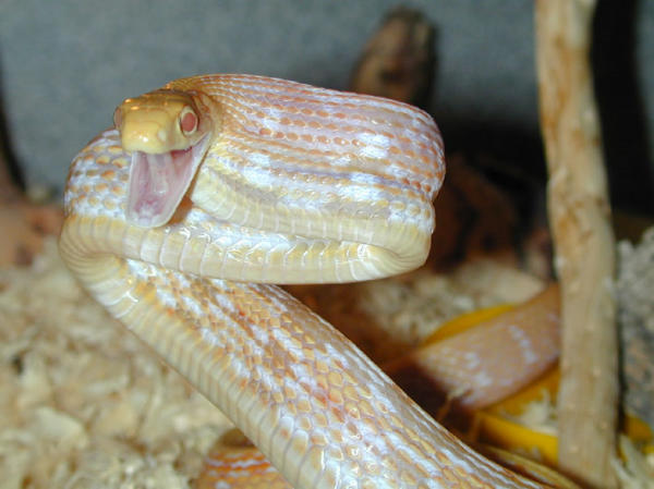 albino black rat snake