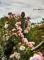 Summer Roses 2015