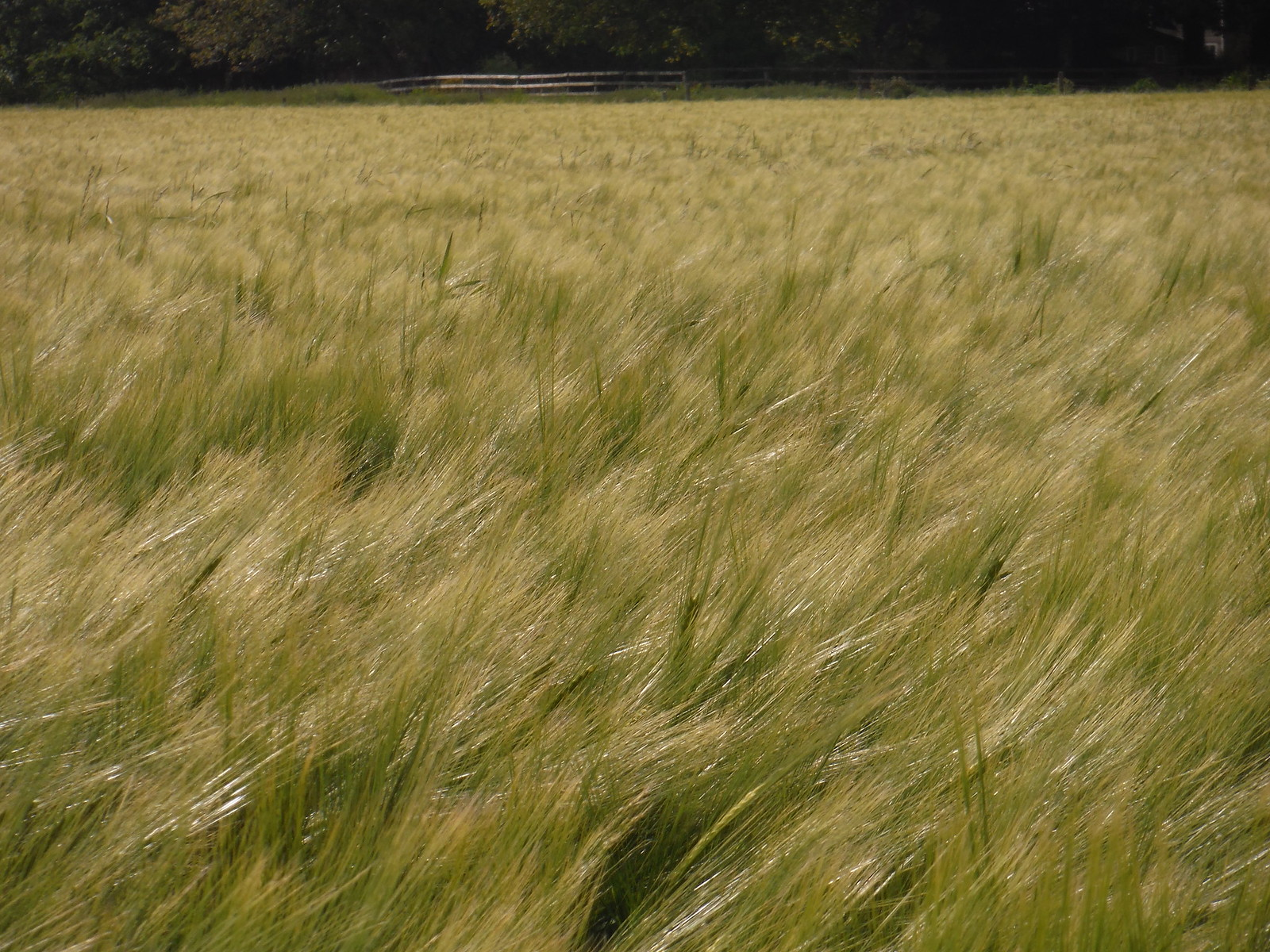 Field in Spring SWC Walk 249 Tisbury Circular via Dinton and Fovant