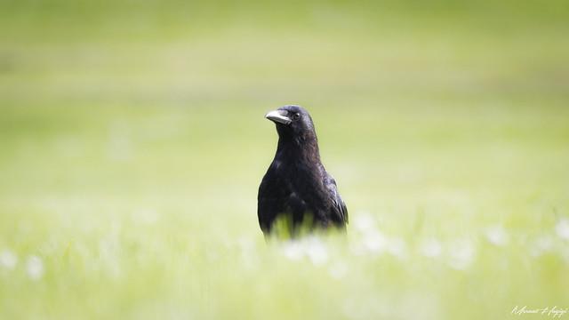 Beautiful black raven