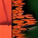carrot pond by Bluesrose