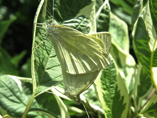 1680 Mating Green-veined butterfly maybe
