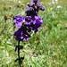 Dragonmouth (Horminum pyrenaicum) (Kerrie Porteous)