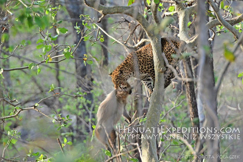 Indian leopard with prey (Panthera pardus fusca)