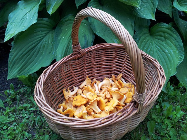 First chanterelles of 2015
