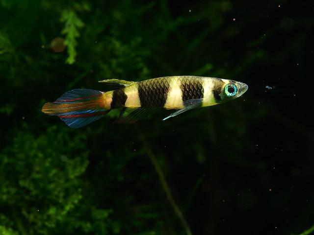 P7254161 斑節鱂