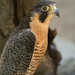 Peregrine Falcon (Falco peregrinus) - Living Desert Zoo and Gardens - Palm Desert, CA by Jim Frazee