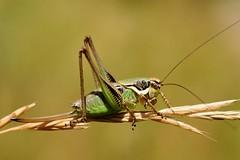 Eupholidoptera chabrieri female - Photo of Sourribes