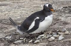 Nesting Gentoo Penguin (Pygoscelis papua)