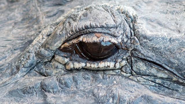 Oeil alligator