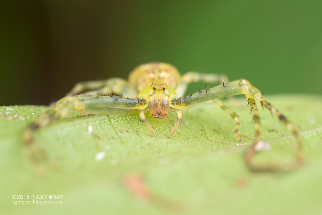 Crab spider (Epidius sp.) - DSC_4317