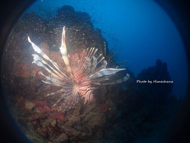 深場では小魚を求めてハナミノカサゴがふらふら。