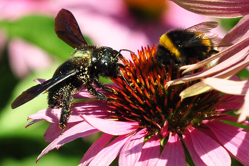 Purpur-Sonnenhut (Echinacea purpurea) mit pollenüberpuderter Holzbiene Arzneipflanzengarten Kloster Lobenfeld Juli 2015 Foto Brigitte Stolle