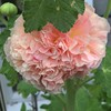 The first Hollyhock is in bloom. Been waiting to see what colour they would be. Very delicate.