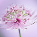 Astrantia by Gizzy1p