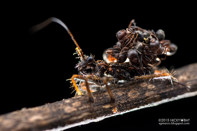 Ant-snatching assassin bug (Acanthaspis sp.) - DSC_0954