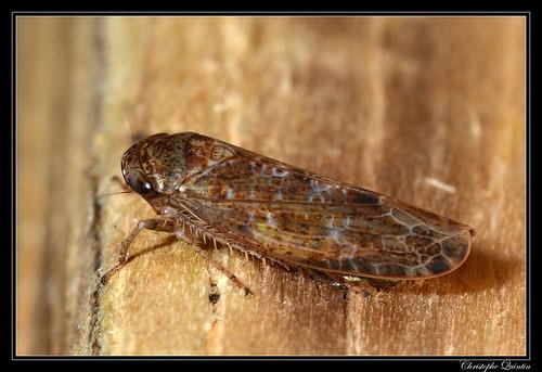 Allygidius sp.