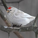 Uncommon Redpoll by Gary Fairhead