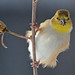 American Goldfinch eating nyjer seed by ctberney