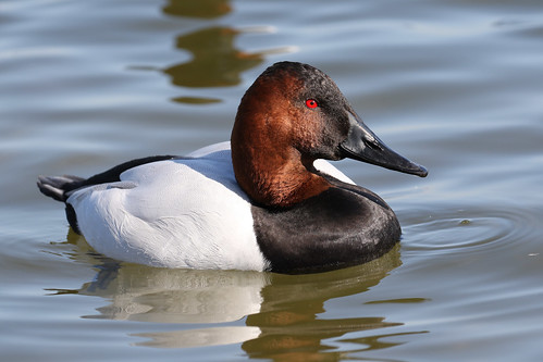 duck canvasback river choptank cambridge maryland