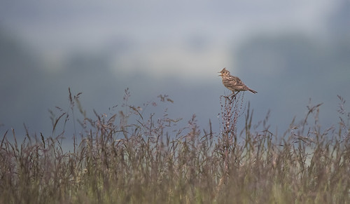 bird nature grass weeds nikon raw singing feathers naturalhistory sing perch calling grassland skylark vantagepoint dawnchorus frickley oldhenry nikond810 frickleycountrypark