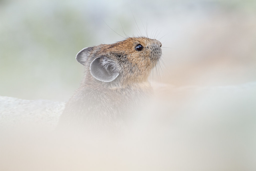 A pika sits on a rock in a talus field