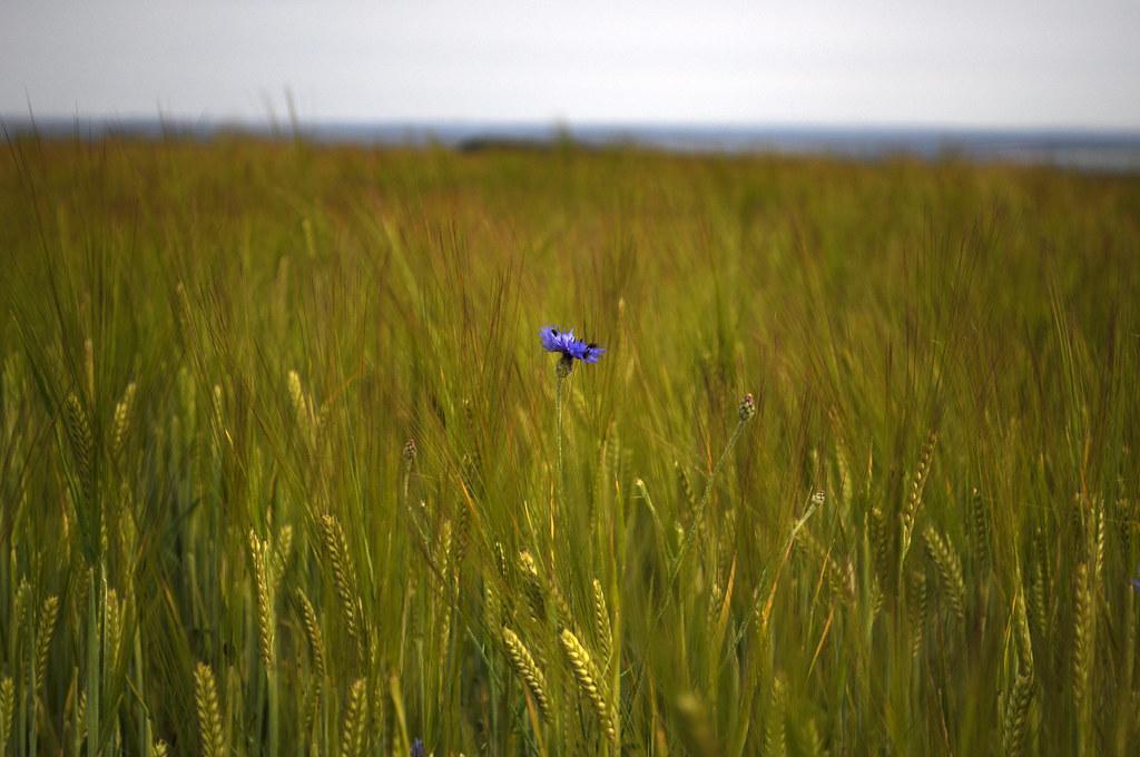 cornflower blue 27/52