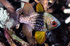 Pajama Cardinalfish - Sphaeramia nematoptera