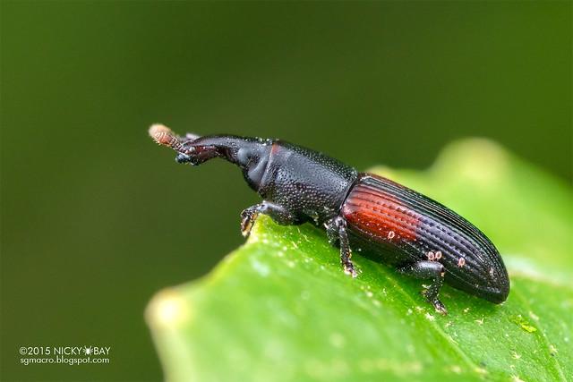 Weevil (Curculionidae) - DSC_4832