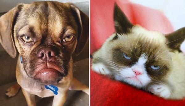 grumpy-puppy-vs-grumpy-cat