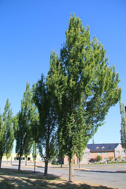 Acer rubrum-46
