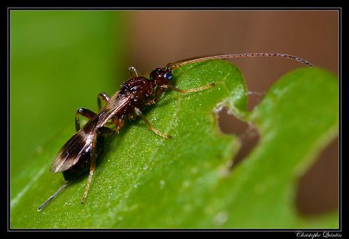 Braconidae (Spathius sp. ?)