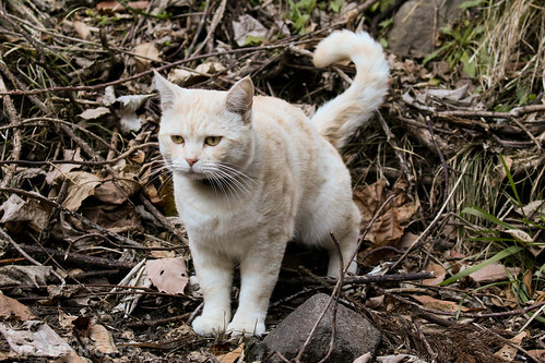 4T4A4639-2 Cream tabby Japanese cat 薄茶トラ猫