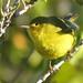 Yellow Warbler (Mangrove) por Birdernaturalist