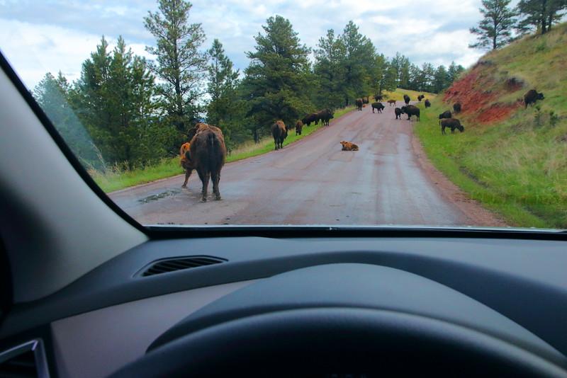 IMG_8592 Bison on Wildlife Loop Road