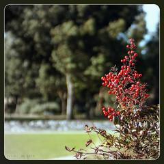 Nandina [Japanese Bamboo] winter berries.