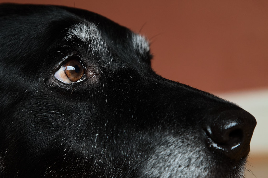 A close-up view of the face of our black lab Ellie