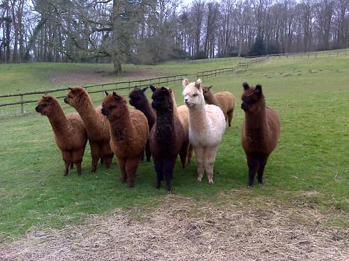 Alpacas in Ridge hamlet