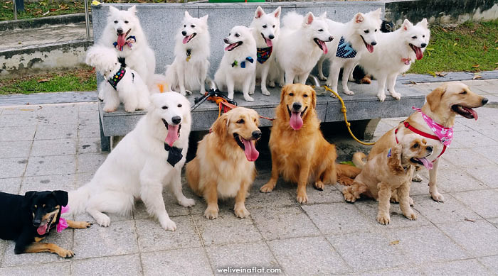 japanese spitz dog group photo