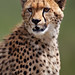 Portrait of a Young Cheetah by Xenedis