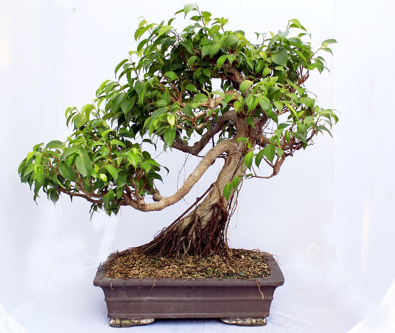 My biggest Ficus benjamina 19416000185_15494b580a_c