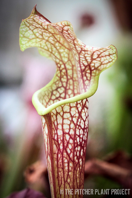 "Sarracenia alata ""red-black"" x 'Kilimanjaro'"