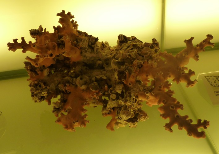 Dendrophyllia ramea 20119699211_4872d82a62_o